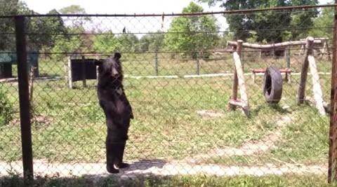 funny-bear-walking02