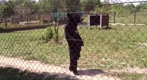 funny-bear-walking03