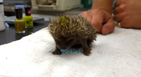 baby-hedgehogs-sneezing02