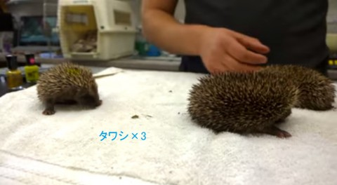 baby-hedgehogs-sneezing03