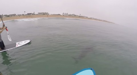 great-white-sharks-surfing02