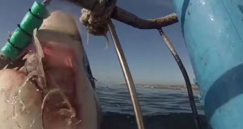 sharks-breaching02