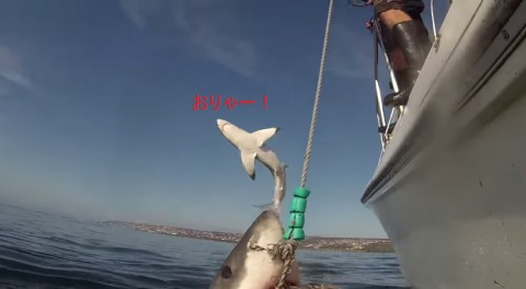 sharks-breaching03