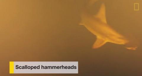 underwater-volcano-sharks01